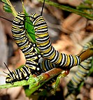Pair of monach butterfly (Danaus plexippus) caterpillars on host plant. Michigan, USA