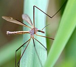 Crane fly. Tipulidae. Michigan, USA