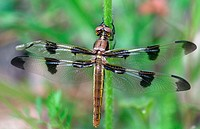 Dragonfly. Odonata. Libellulidae. Michigan, USA
