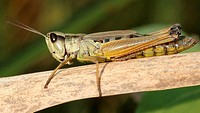 Short-horned grasshopper. Insecta. Orthoptera. Acrididae. Michigan, USA