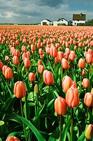Field of pink tulip flowers, Sassenheim, Netherlands