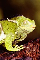 Close-up of a Fiji crested iguana, Fiji Brachylophus vitiensis