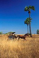 Horse cart in a field, Bagan, Myanmar