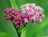 Swamp Milkweed. Asclepias Incarnata. Michigan, USA