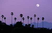 Moon over palm trees at dusk, Hollywood, Los Angeles, California, USA