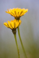 Two dandelions Taraxacum officinale, close-up