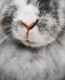 Harlequin rabbit, close-up of nose
