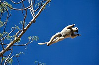 Verreaux´s Sifaka Propithecus verreauxi verreauxi leaping from tree
