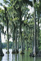 USA, Florida, Everglades, water cypresses