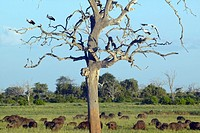 European storks in tree and cape buffalo at sunset in Tsavo National park, Kenya, Africa