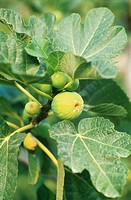 Italy, Common fig, close-up
