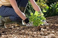 Woman in wellington boots planting in garden, crouching in soil, side view, surface level tilt