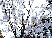 Cherry blossoms with lampions