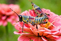 Elegant Grasshoppers Blue & Yellow on pink flower Malawi