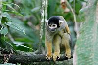 Squirrel Monkey (Saimiri sciureus). Tambopata rainforest. Amazonia basin. Peru