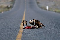 Crested caracara (Caracara cheriway) eating a roadkilled coyote. Baja California. Mexico