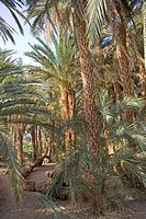 Sudan, Eastern Sahara, Soleib, palm tree forest