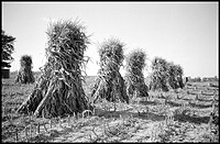 Bundles of cornstalks in a field