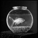 Large goldfish swimming in small bowl
