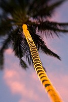 Electric lights wrapped around palm tree trunk in the fading light of dusk