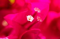 Extreme close-up of bright pink bougainvillaea, focus on white flower in center