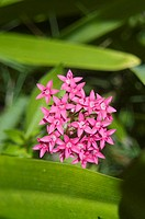 Small pink flowers clustered among green leaves (thumbnail)