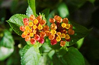 Blossoms of yellow and orange lantana among green leaves