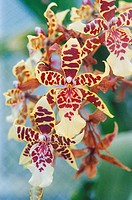 Pale yellow and brick red spotted dendrobium orchids