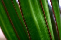 Close-up of long green leaves edged with red