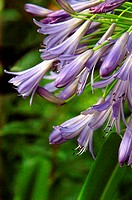Close-up of purple agapanthus lily, view from side
