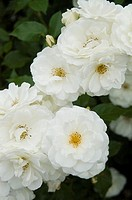 Pretty white roses growing in a garden