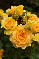 Beautiful yellow roses growing in a garden