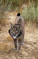 Pardel Lynx or Iberian Lynx (Lynx pardina). UK. Endangered. Very similar to Lynx as distinguished by smaller size and heavier and smaller spots and mo...