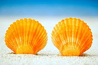Two orange scallop shells standing upright in sand