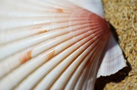 Select focus of pink and white scallop shell laying on sand