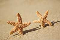 Two orange seastars dancing in the sand