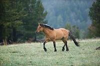 Wild Spanish Mustang Stallion
