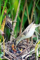 Sedge, Warbler, pair, at, nest, with, chicks, Lithuania, Acrocephalus, schoenobaenus,