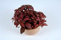 Red, Nerve, Plant, ´Jason´, Fittonia, verschaffeltii, Gymnostachyum, verschaffeltii, Mosaic, Plant, Painted, Net, Leaf,