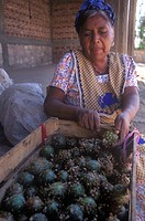 Zapotec indigenous woman peeling pitayo fruits (Stenocereus griseus).