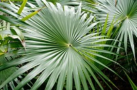 Palm (Sabal sp.) leaves. Palma de Guano. The guano palm has served as raw material for handicrafts, construction materials, fodder and medicine. Mayan...