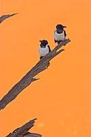 Pied, Crows, Dead, Vlei, Namib, Naukluft, national, park, Namibia, Corvus, albus,