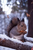 Squirrel  Helsinki, Finland