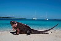 Allan´s, Cay, Rock, Iguana, Allan´s, Cay, Bahamas, carribean,