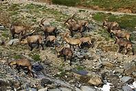 Alpine, Ibex, males, Grossglockner, national, park, Hohe, Tauern, Austria, Capra, ibex, wild, goats, alps,