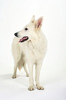 White, Swiss, Shepherd, Dog, Berger, de, Swisse,