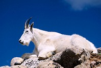 A mountain goat rests atop granite boulders high on the slopes of Mount Evans, Colorado, USA