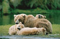 Grizzly bear (Ursus arctos horribilis) with cubs resting, Katmai National Park, Alaska, USA