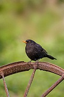 Male Blackbird (Turdus merula)