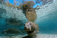 Florida manatee (Trichechus manatus latirostris), Crystal River, Florida, USA